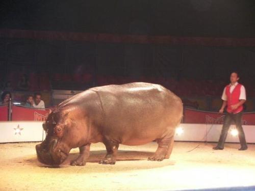 Hippo at Circo Mundial