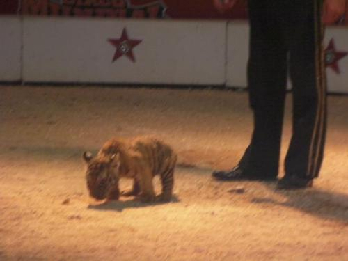 Cute Tiger Cub at Circo Mundial